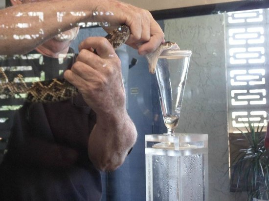 Reptile World Serpentarium: Eastern Diamondback Rattlesnake Venom Milking