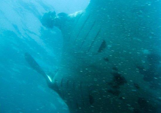 Dive Academy Ballena Blanca : Underneath a Giant Manta (Manta birotris)