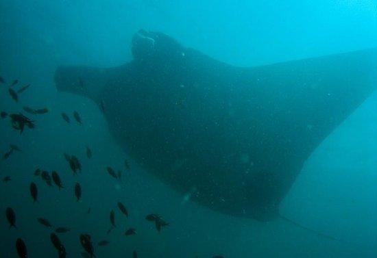 Dive Academy Ballena Blanca : Giant Manta! (Manta birotris)
