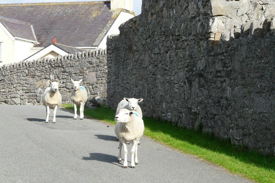 Evans Hotel: Friendly Welsh Sheep on the Great Orme