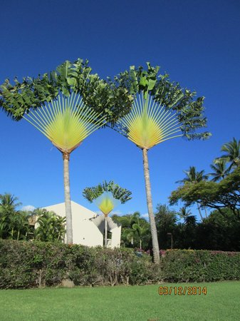 Aston at the Maui Banyan: Fan palms on the property