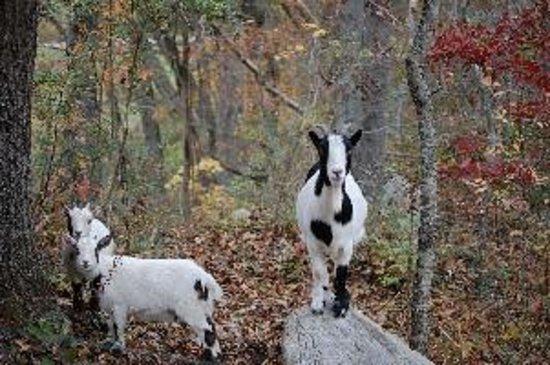 Pioneer Cabins & Guest Farm: petting farm goat