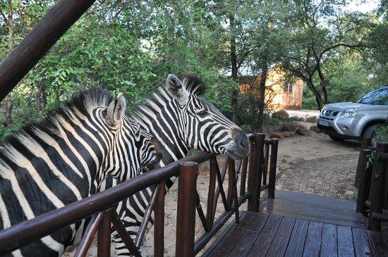 Royale Marlothi Safari Lodge: Tierbesuch Zebra