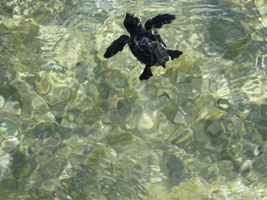 Piccadilly Studios : Маленькая черепашка Карета-карета впервые с пляжа в море