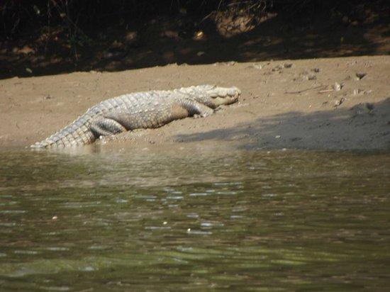 Dr. Salim Ali Bird Sanctuary: Indian crocodile