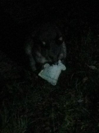 Kosciuszko Tourist Park: Possum stealing bread near our campfire