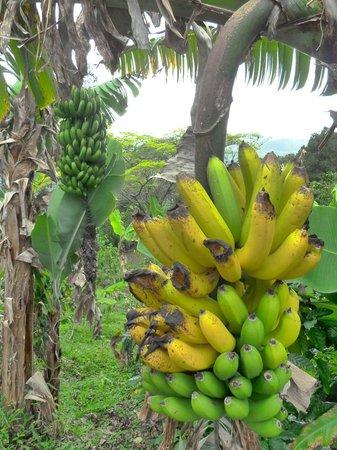 Hacienda Pomarrosa : Lots of banana trees