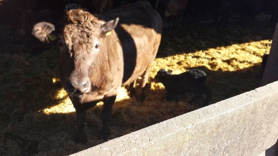The Manor Farm: New-born calf