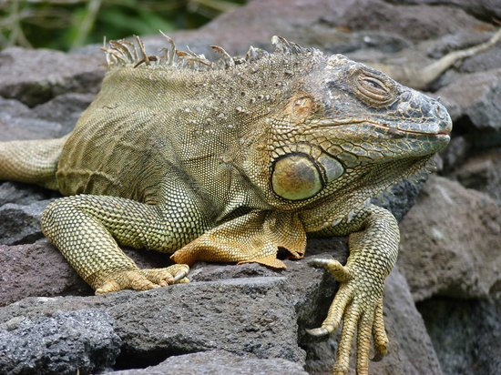 Tilajari Hotel Resort: This iguana favours the wall around the Jacuzzi to sun himself