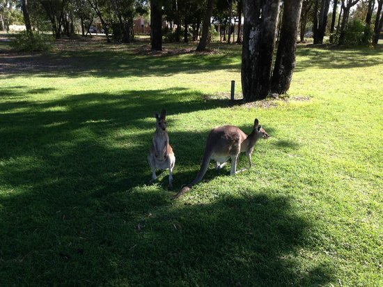 Woodgate, Australia: Kangaroos grazing in the Beachside Park