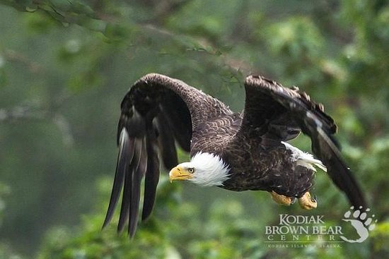 Kodiak Brown Bear Center : Eagle