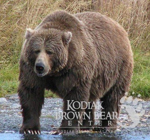 Kodiak Brown Bear Center : Karluk Bear