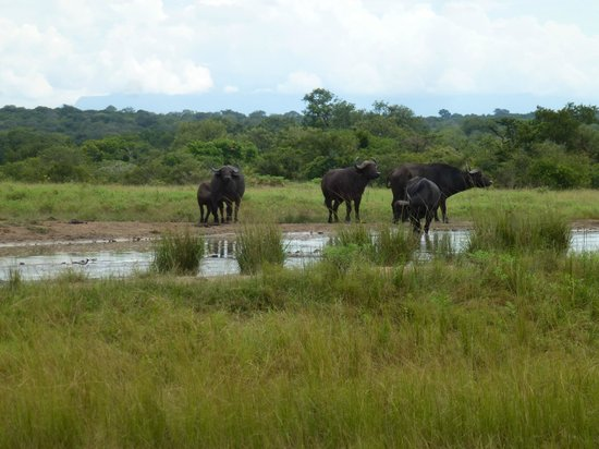 Tangala Safari Camp: Cape buffalo at waterhole near the resort