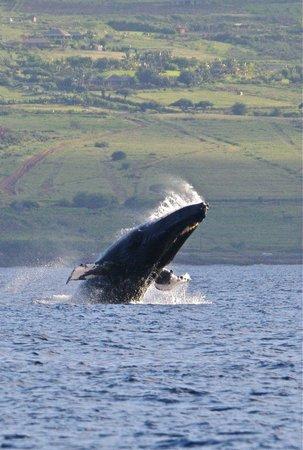 Maui Adventure Cruises: Breaching whale