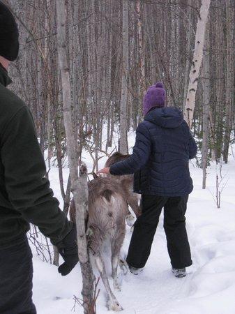 Running Reindeer Ranch : Walking with the reindeer