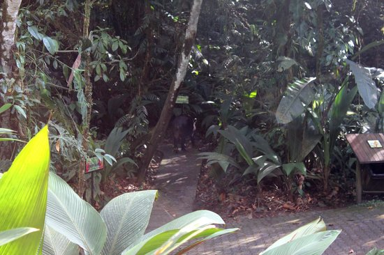 Parque Nacional Braulio Carrillo: Tapir ~ large rarely seen mammal going into brush at park