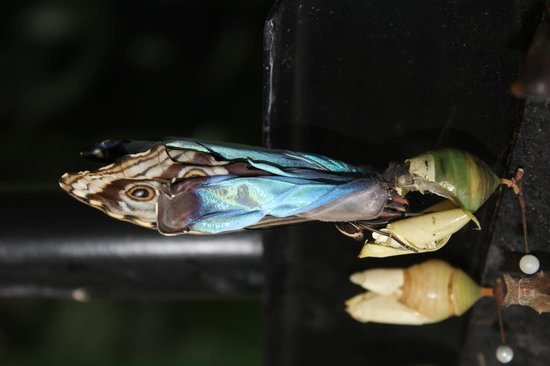 Parque Nacional Braulio Carrillo: Butterfly emerging from cocoon