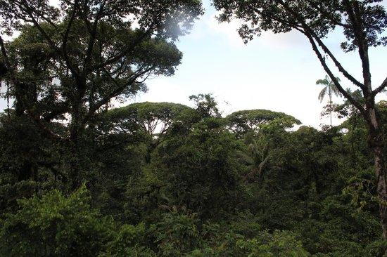 Parque Nacional Braulio Carrillo: View of some Primary forest trees  from tram