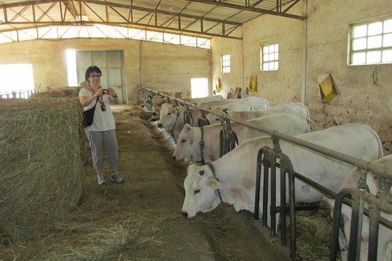 Fattoria Poggio Alloro: Cows