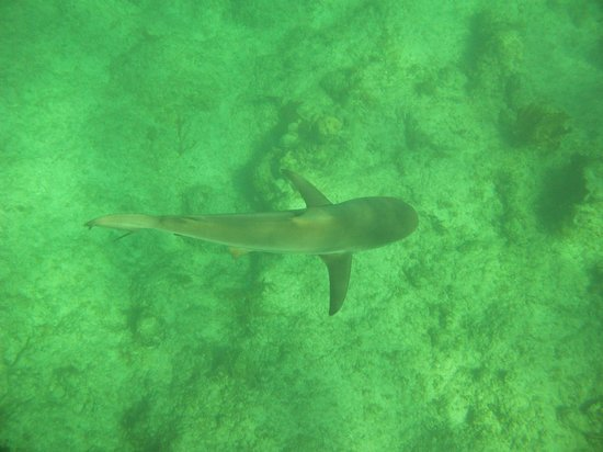 Island Vibes Tours: Little reef shark, swam right under me!
