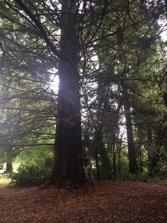 Jardin Botanico de la Universidad Austral de Chile: Un árbol pequeño