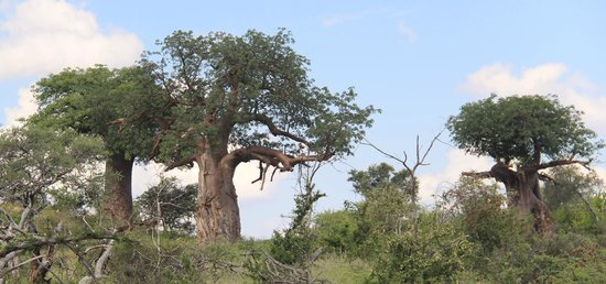 Mapungubwe National Park: baobab forest