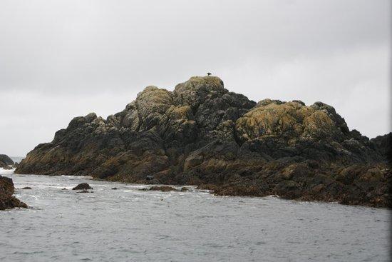 West Coast Aquatic Safaris : Bald Eagle/Sea otter