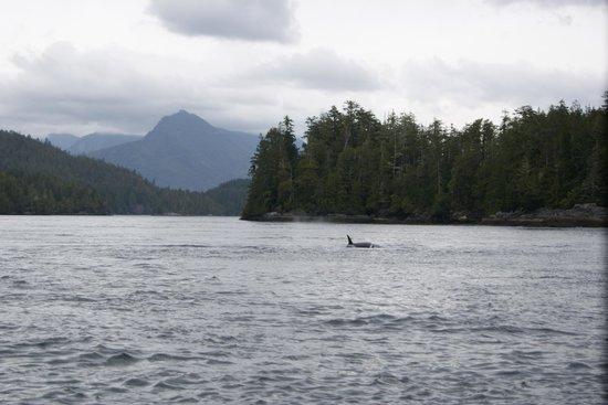 West Coast Aquatic Safaris : Orcas
