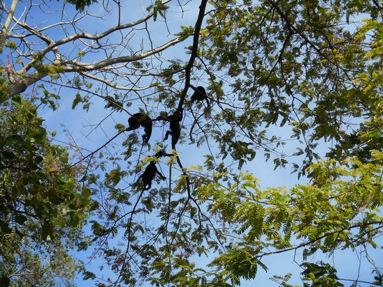 Hotel Riu Guanacaste: Monkeys on the path to the Monkey Bar
