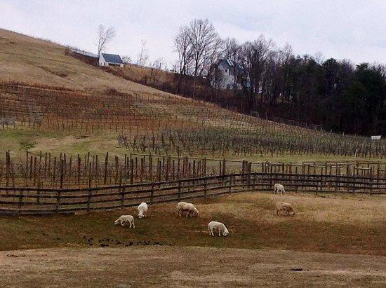 The Farmhouse at Veritas : grazing sheep