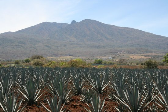 Mundo Cuervo La Rojena: Buenos Aires Agave field in Tequila, Jalisco