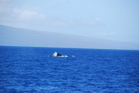 Pacific Whale Foundation : humpback whale