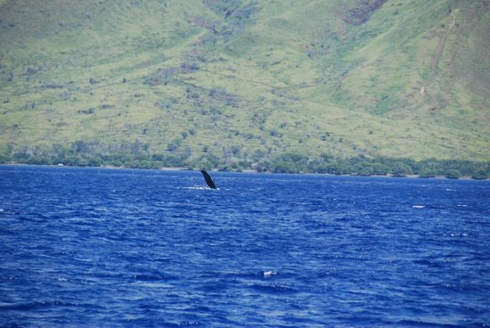 Pacific Whale Foundation : we had a slapper!