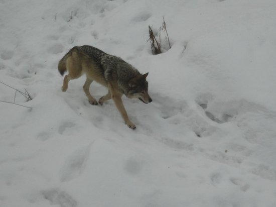 Ranua Zoo: Loups
