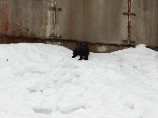 Ranua Zoo: Wolverine
