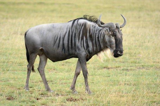 zebu picture of kenya incentive tours safaris day tours