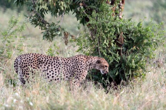 Kenya Incentive Tours & Safaris - Day Tours : Cheetah
