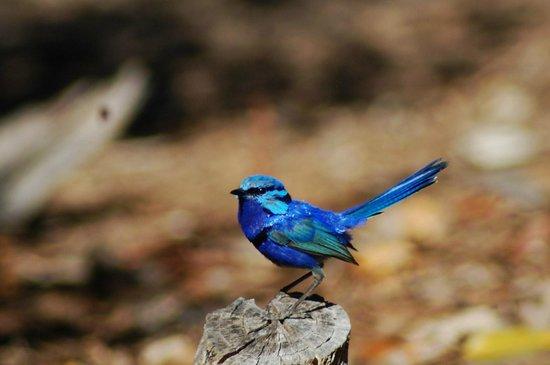 Dwellingup B&B and Chalets: Blue Wren near the gazebo
