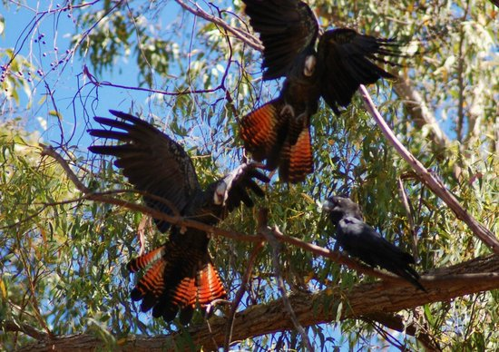 Dwellingup B&B and Chalets: Squabble in the trees