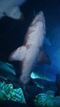 Dubai Aquarium & Underwater Zoo: Rekin w szklanym tunelu