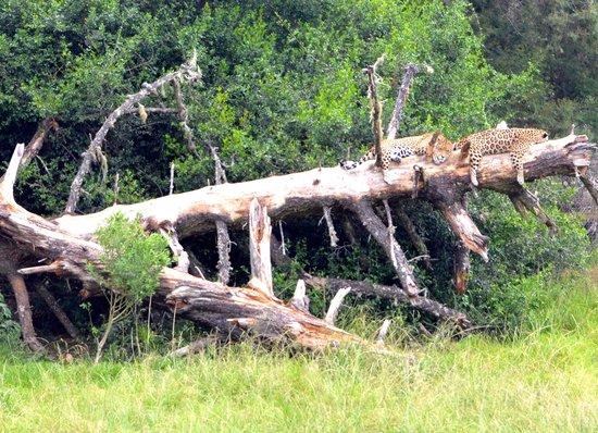 Jukani Wildlife Sanctuary: jaguars at rest