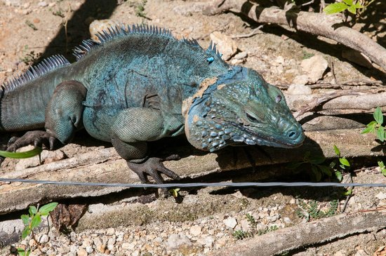 Blue Iguana Recovery Program Safari Tour: After a Fruit Meal