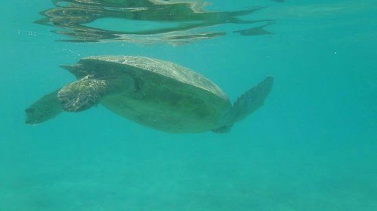 Pom Pom Island Resort & Spa: One of the many green turtles swimming across the reef