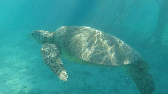 Pom Pom Island Resort & Spa : One of the many green turtles swimming across the reef