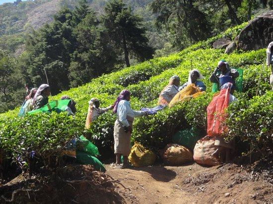 SpiceTree Munnar: au bord de la route des plantations de thé