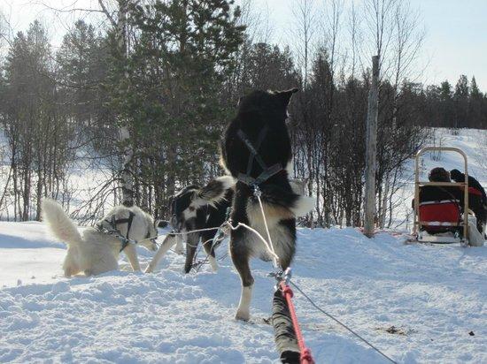 Davvi Arctic Lodge: They are born to run