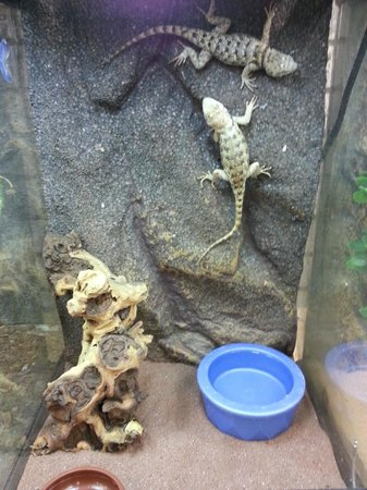 The Spoiled Pet Spiney Crevice Lizard