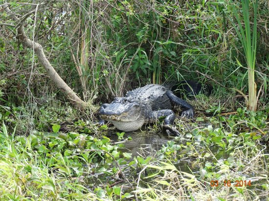 Gator Bait Airboat Adventures: One of the gators