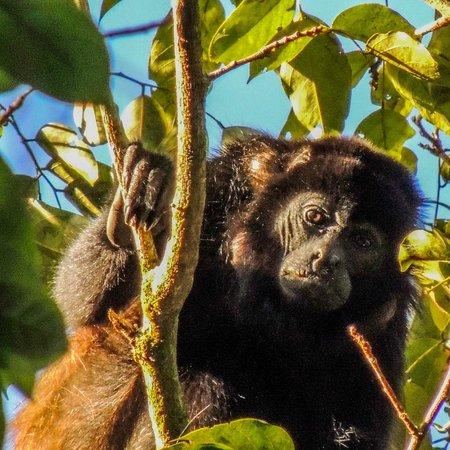Albergue el Socorro: Howler monkey