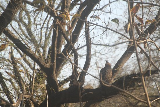 Gir National Park and Wildlife Sanctuary: Changeable Hawk Eagle